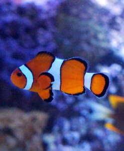 Falscher Clownfisch Amphiprion ocellaris, Nemo in Riffbarsche