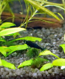 Dark Blue Tigergarnele Caridina cf. Cantonensis-Dark Blue in Garnelen