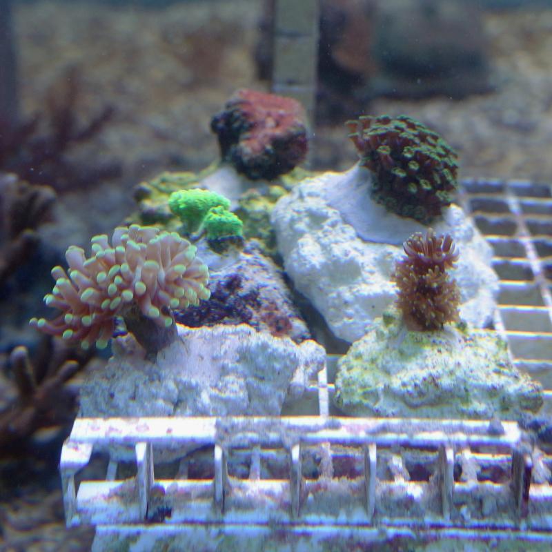Meerwasser steinkorallen lps aqua tropica for Meerwasser shop