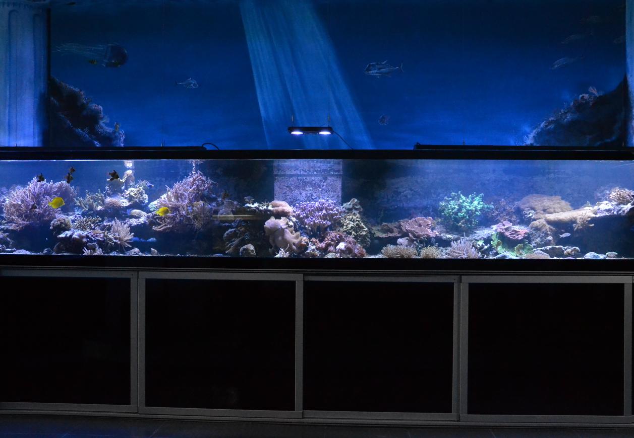 Stylophora pistillata, die Milka-Koralle - 5000 Liter Schaubecken