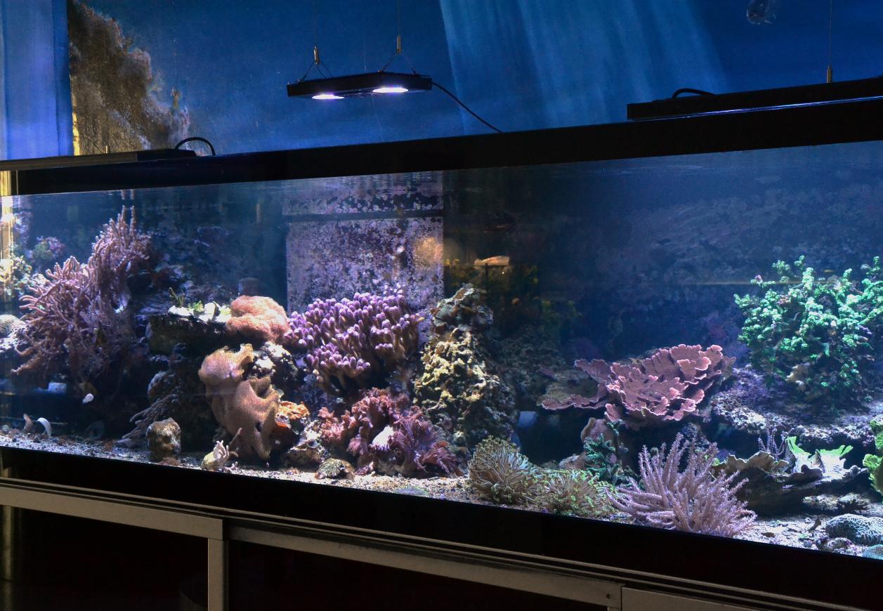 Stylophora pistillata, die Milka-Koralle - Korallen-Paradies!