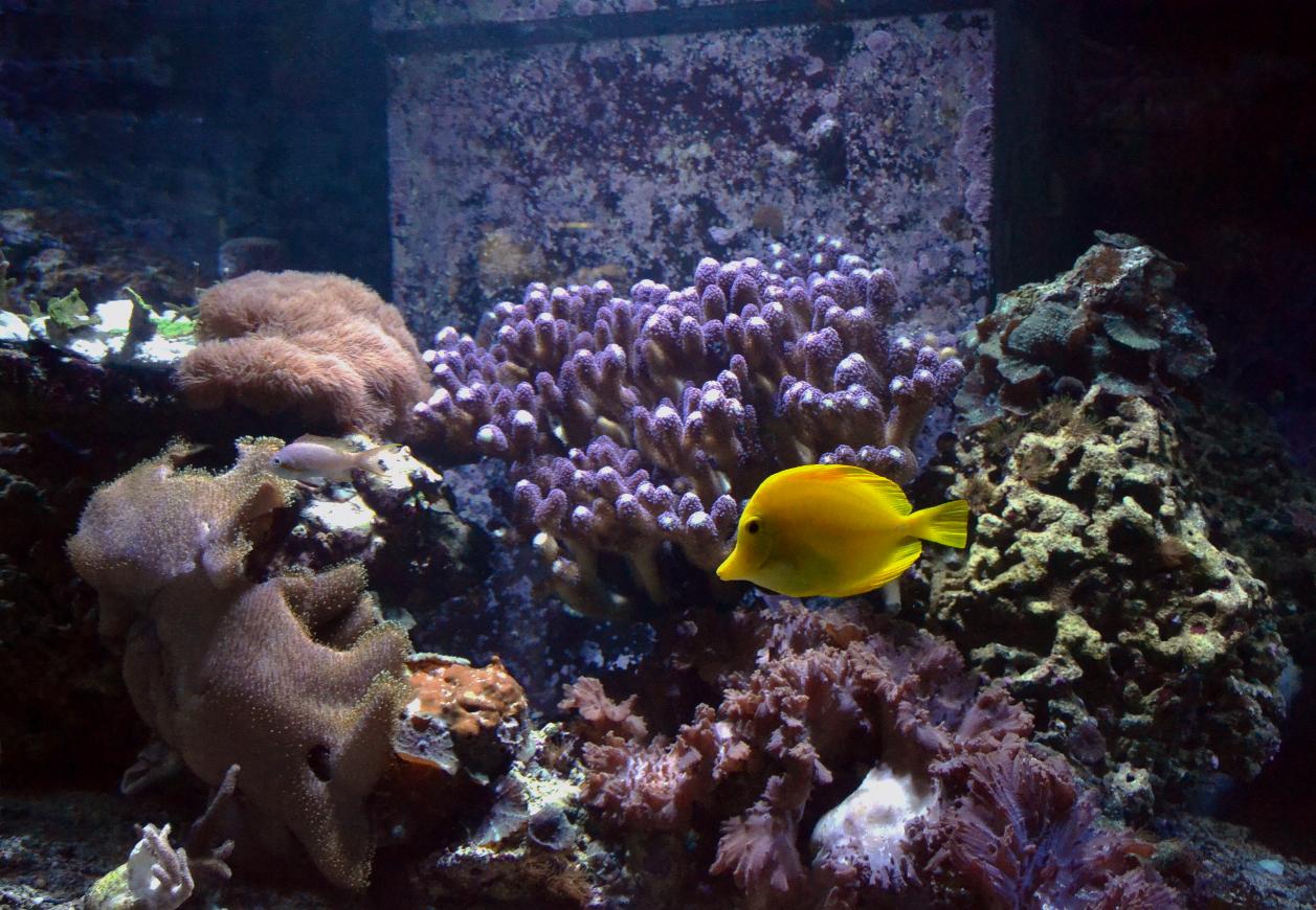 Stylophora pistillata, die Milka-Koralle - Die Mutterkolonie