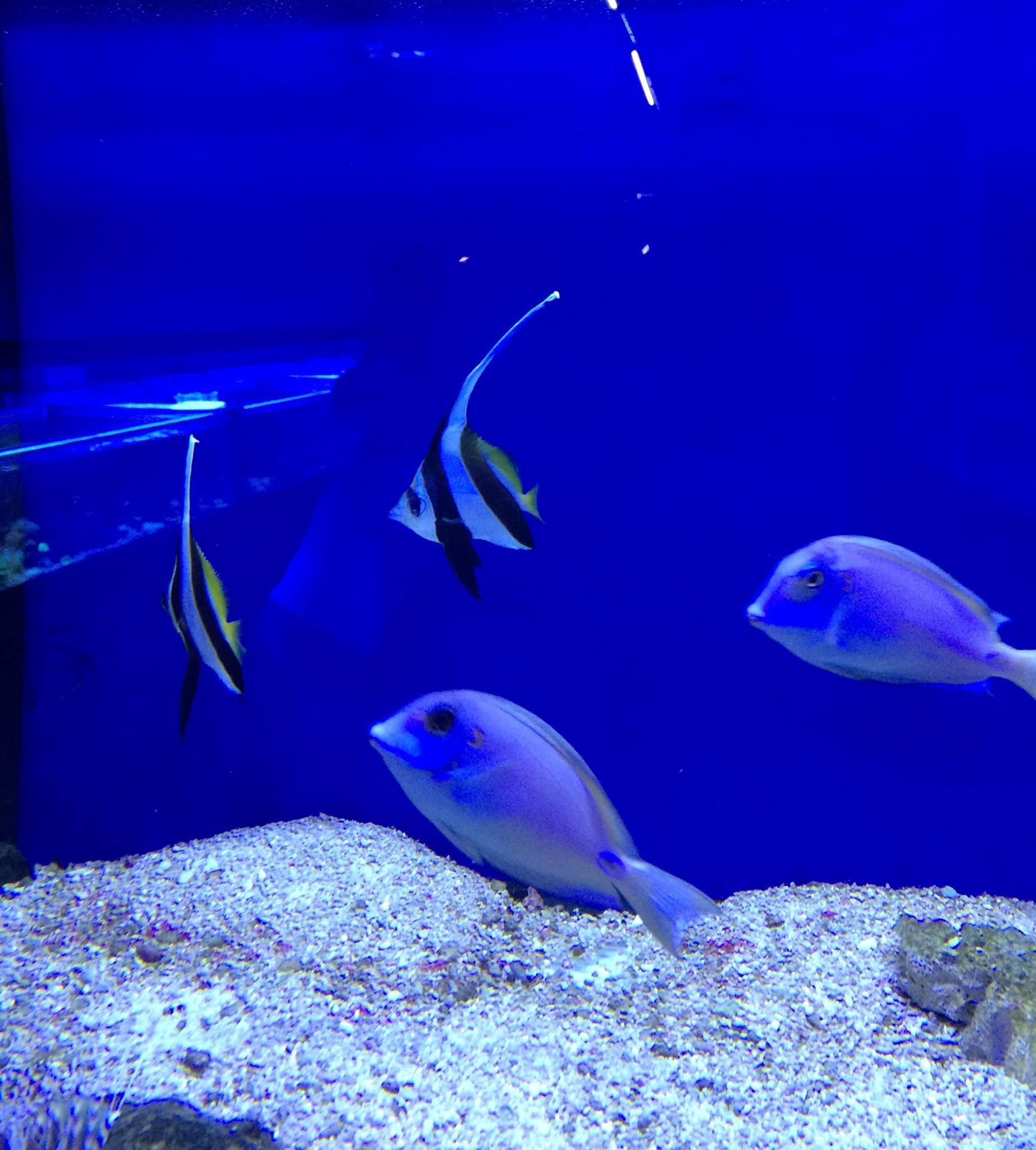 Schöne Meerwasserlieferung eingetroffen - Heniochus acuminatus und Acanthurus tennenti