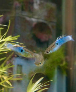 Endler-Guppy Japan blue Paar Poecilia wingei in Lebendgebärende