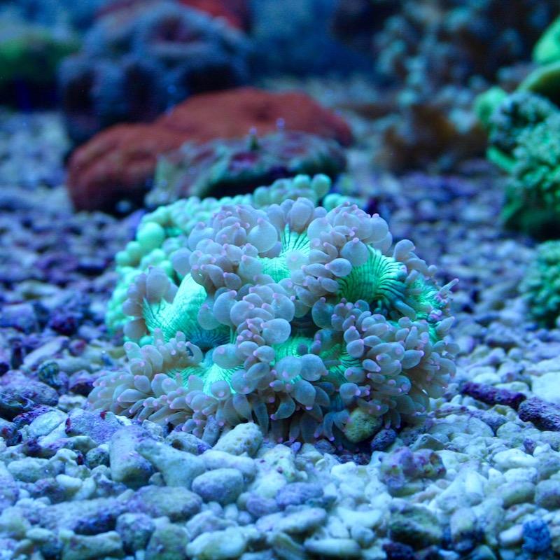 Wunderkoralle Aquatropica