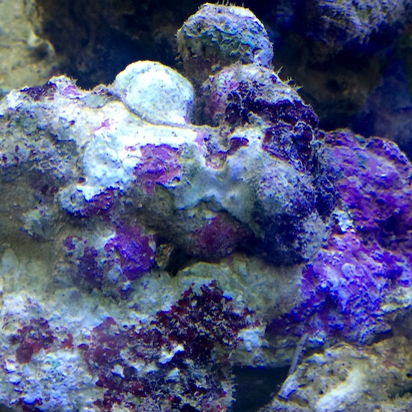 Lebendgestein indonesien aqua tropica lebende steine for Aquarium reinigen