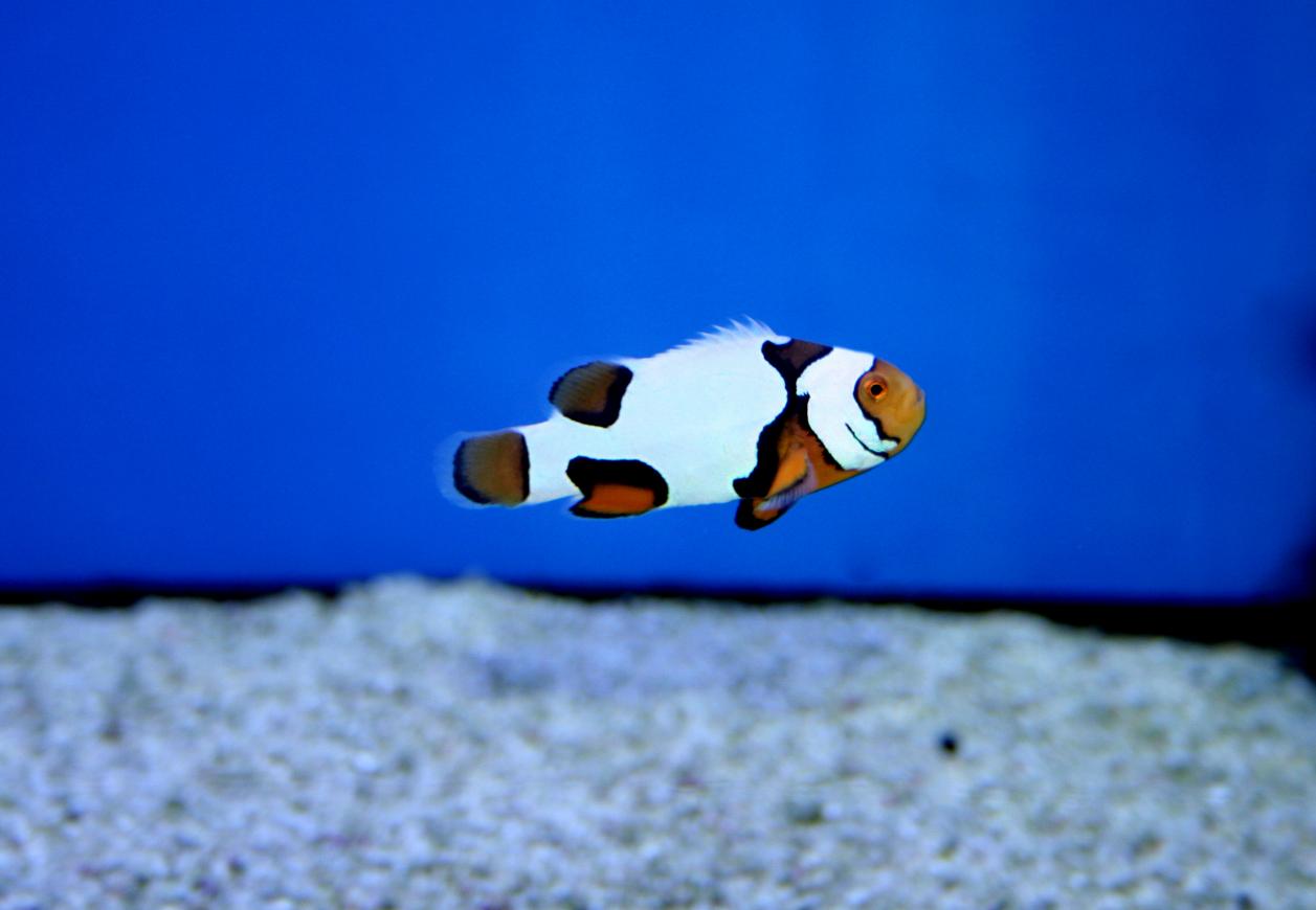 Erfahrungen mit Designer-Anemonenfischen. - Picasso Clownfisch