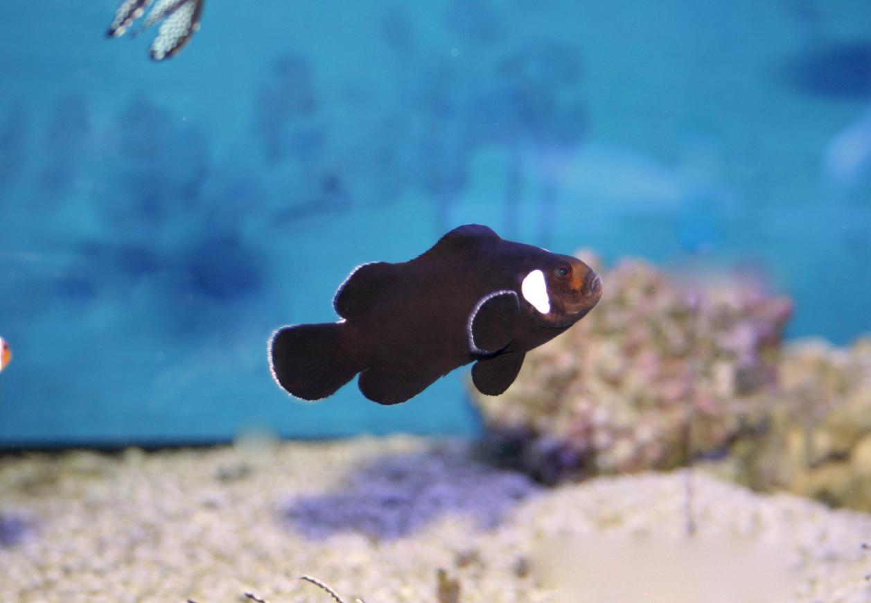 Erfahrungen mit Designer-Anemonenfischen. - Midnight Clownfisch