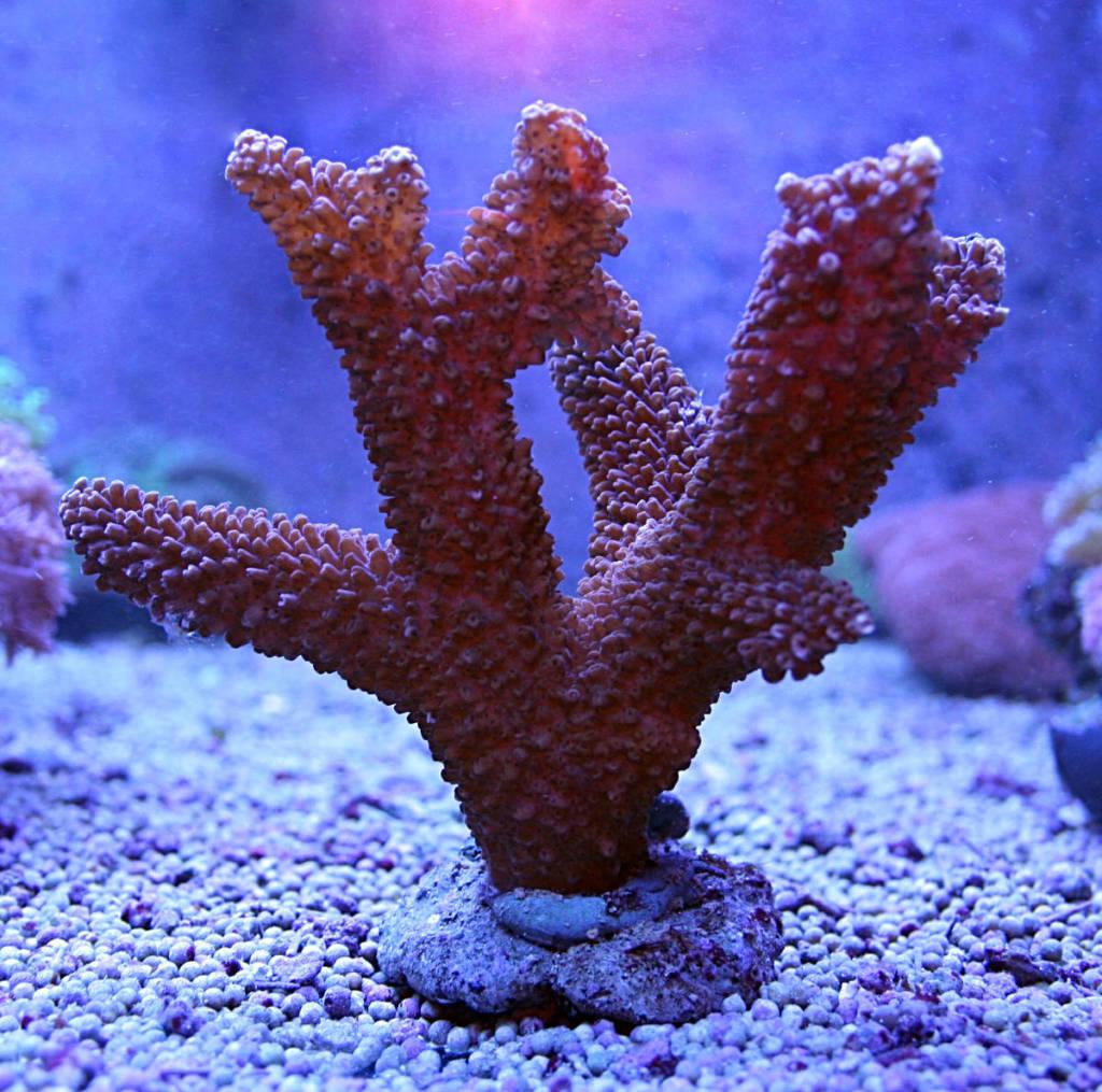 Warum werden meine Korallen braun? • Aqua Tropica